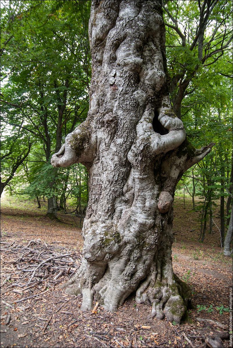 Узловатое дерево