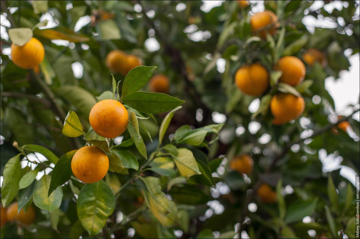 Апельсины древесные