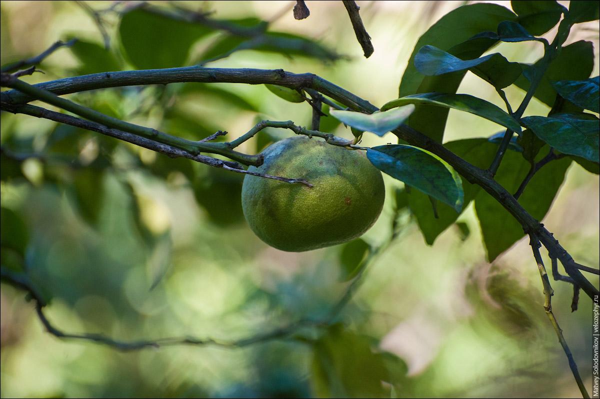 Мандарин или грейпфрут