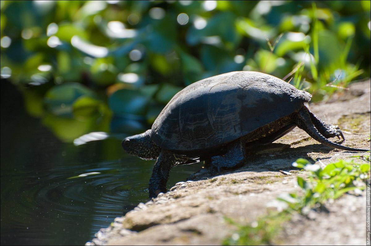 Черепаха ныряет