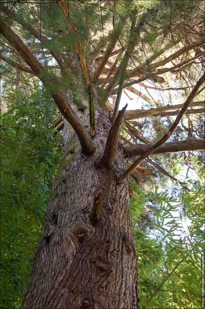 Аризонская сосна
