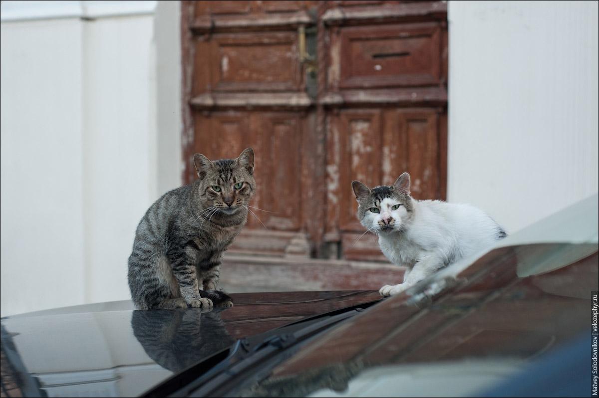 Коты на капоте