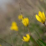 Тюльпаны Биберштейна