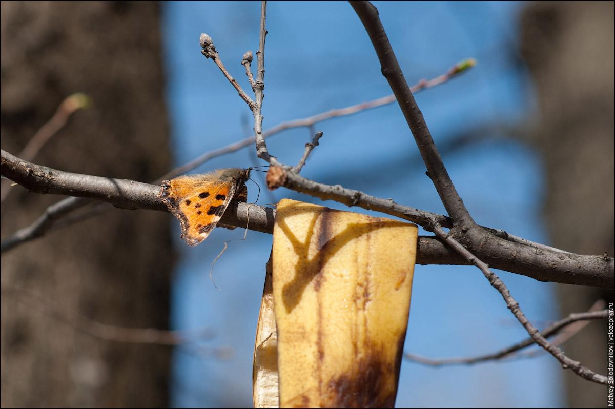 Бананобабочка