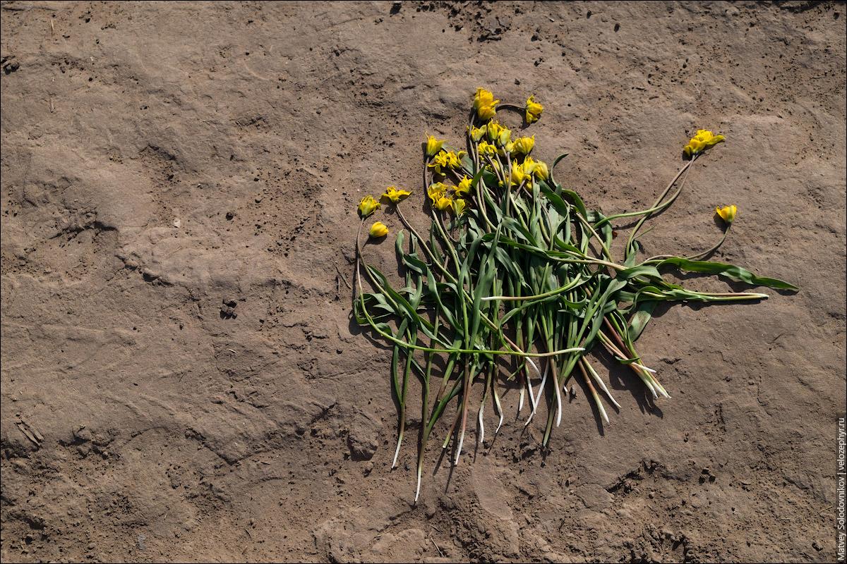 Тюльпаны Биберштейна. Оторви и выбрось
