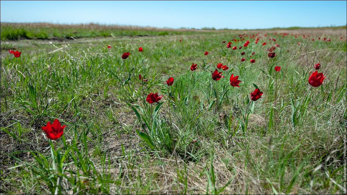 Поля красных тюльпанов