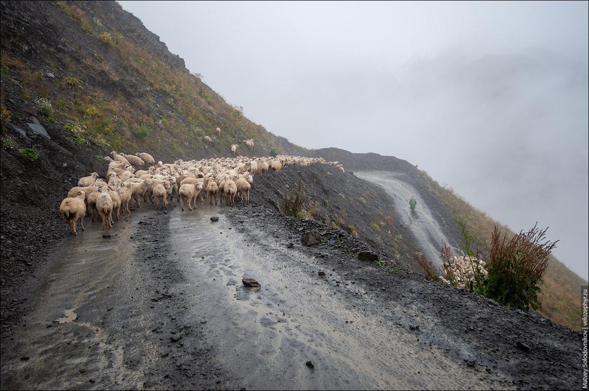 И опять овцы